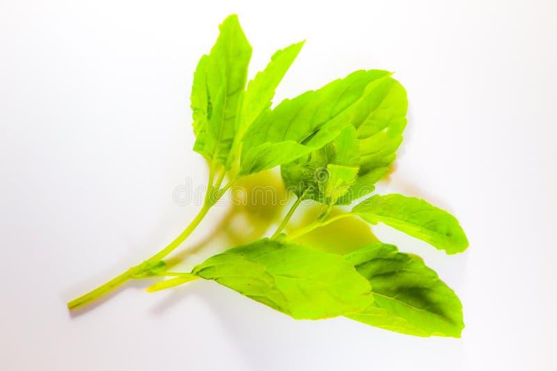 Piękny zamknięty w górę Świętego basila liścia odizolowywającego na białym tle fotografia royalty free