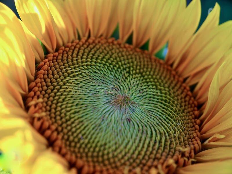 Piękny zbliżenie duży kwitnący słonecznik zdjęcie royalty free