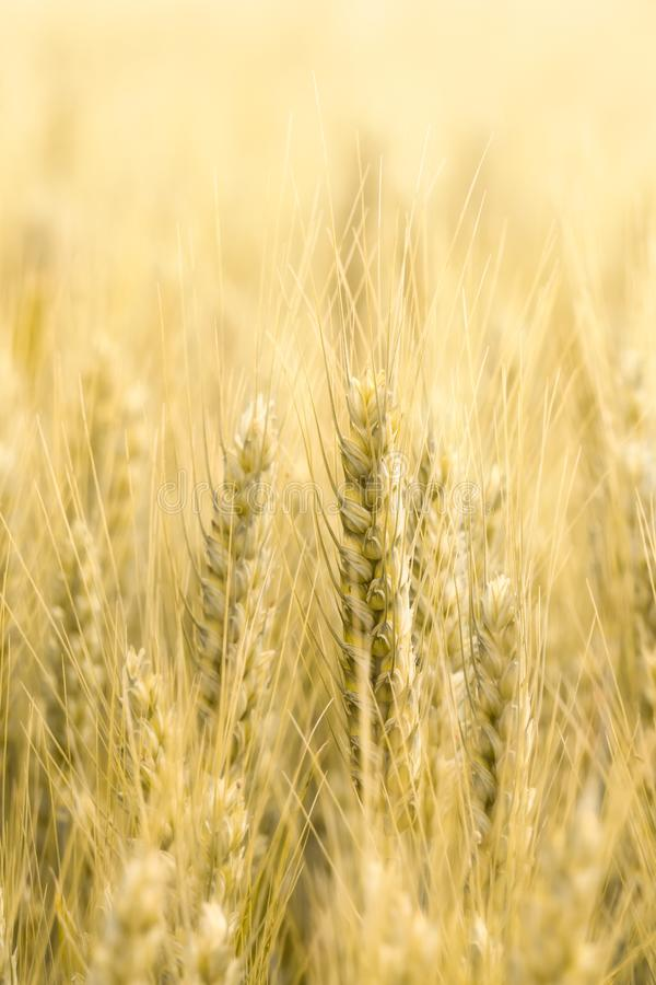 Piękny zbliżenie narastająca pszeniczna zboże uprawa Pionowo i odbitkowa przestrzeń Rolnictwo, przemysłu spożywczego pojęcia tło  zdjęcia royalty free