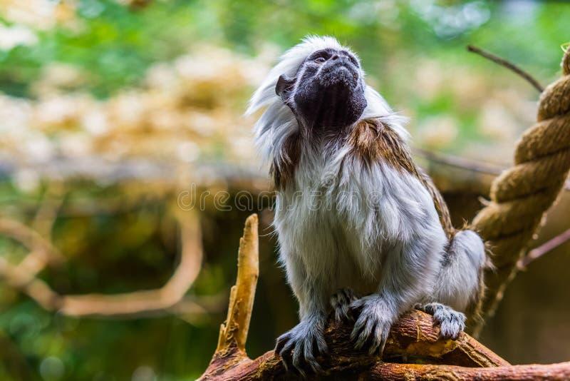 Piękny zbliżenie portret bawełniana odgórna długouszki małpa, krytycznie zagrażający zwierzęcy specie, tropikalni prymasy obrazy stock