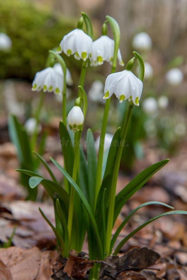 Piękny zbliżenie wiosen płatek śniegu Leucojum vernum fotografia stock