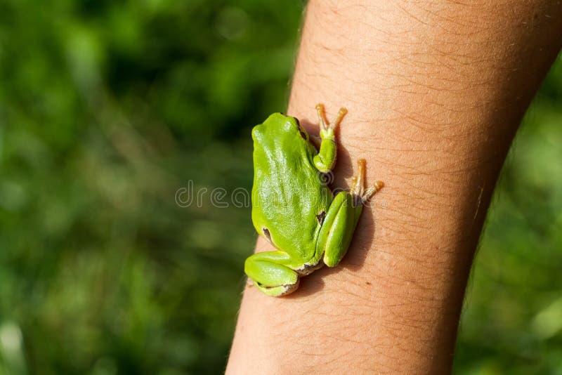 Piękny zielonej żaby obsiadanie na ręce zdjęcie royalty free