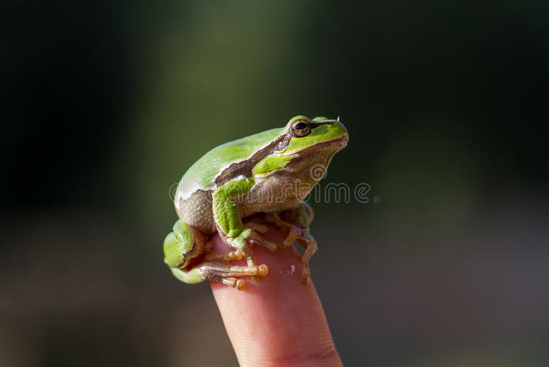 Piękny zielonej żaby obsiadanie na ręce obraz royalty free