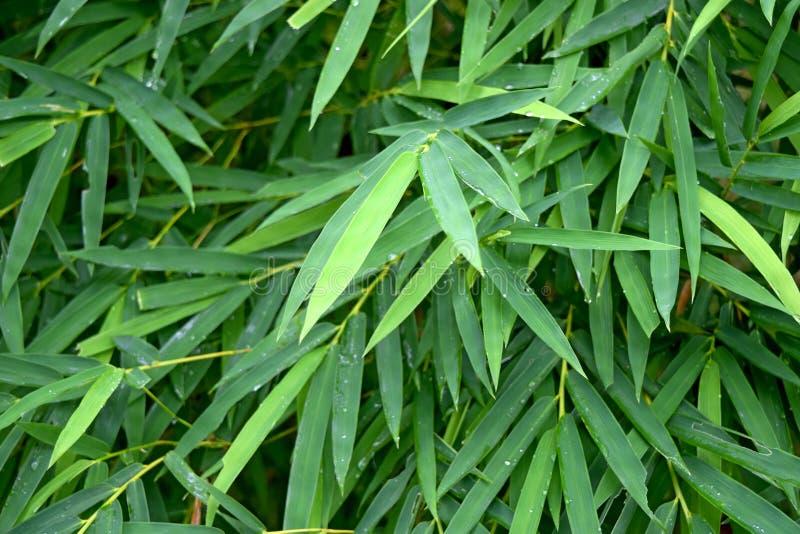 Piękny zielony bambus opuszcza w dżungli tła zakończeniu zdjęcia royalty free