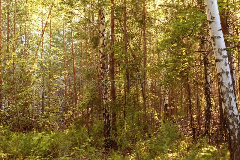 Piękny zielony las w lecie Lesiści lasowi drzewa iluminują światła słonecznego dolewaniem przez drzew obraz stock