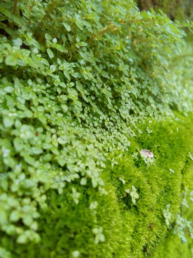 Piękny zielony Moses obraz royalty free