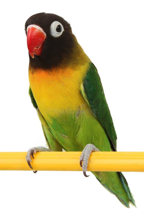 Piękny zielony papuzi lovebird zdjęcie royalty free