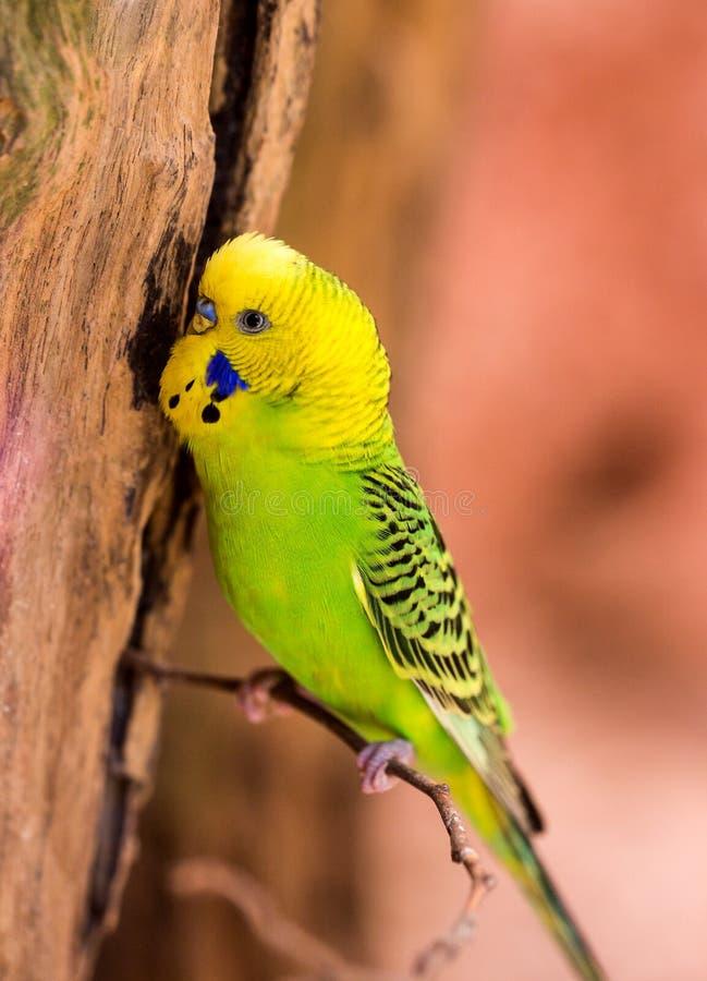 Piękny zielony papuzi lovebird obraz royalty free
