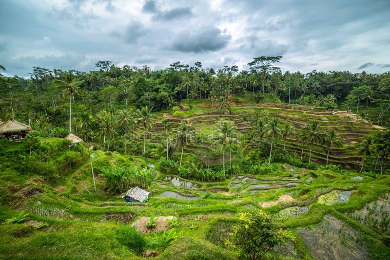Piękny zielony ryż tarasuje w ranku przy Tegallalang wioską, Ubud, Bali, Indonezja zdjęcie royalty free