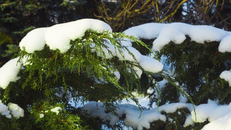 Piękny zim bożych narodzeń tło Śnieg i krople na gałąź jałowiec zdjęcie royalty free