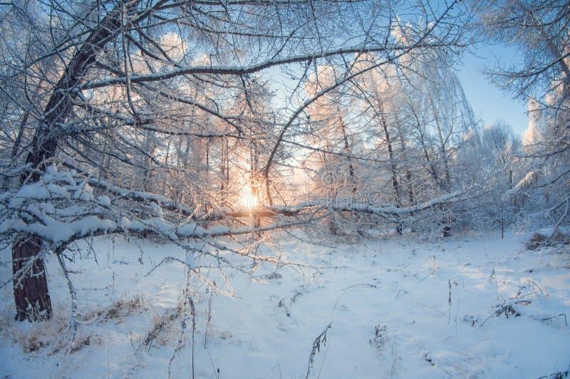 Piękny zima krajobraz, śnieżny las na słonecznym dniu, rybiego oka wykoślawienie, wysocy śnieżni drzewa z niebieskim niebem zdjęcia royalty free
