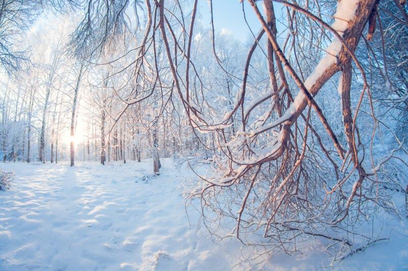 Piękny zima krajobraz, śnieżny las na słonecznym dniu, rybiego oka wykoślawienie, wysocy śnieżni drzewa z niebieskim niebem zdjęcia stock