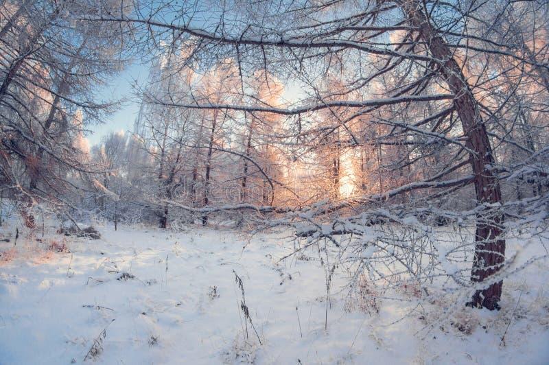 Piękny zima krajobraz, śnieżny las na słonecznym dniu, rybiego oka wykoślawienie, wysocy śnieżni drzewa z niebieskim niebem obraz royalty free