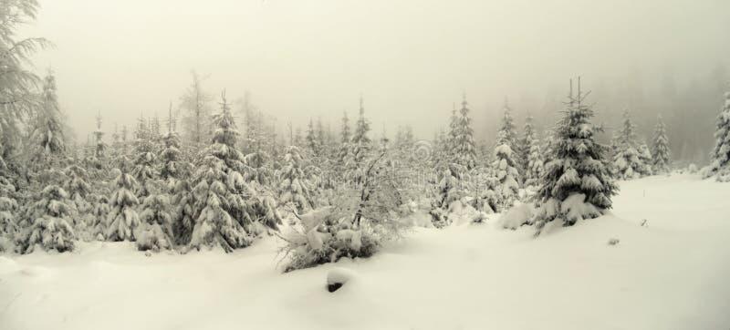 Piękny zima krajobraz z świeżym śniegiem zakrywał świerkowych drzewa obraz royalty free
