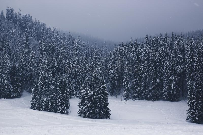 Piękny zima krajobraz z błękitnymi śnieżystymi jedlinowymi drzewami w t obraz stock