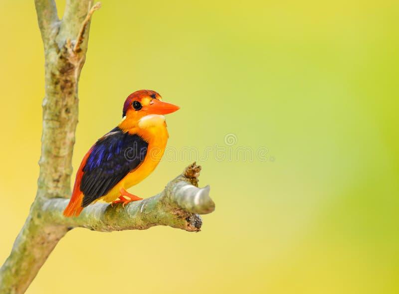 Piękny zimorodka ptak obrazy stock