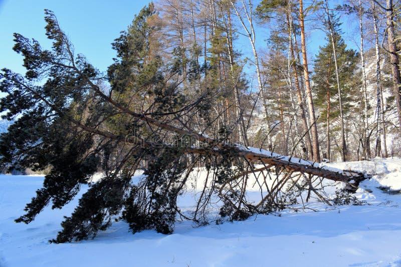 Piękny zimy landscape Góry i brzozy siberia Khakassia fotografia royalty free