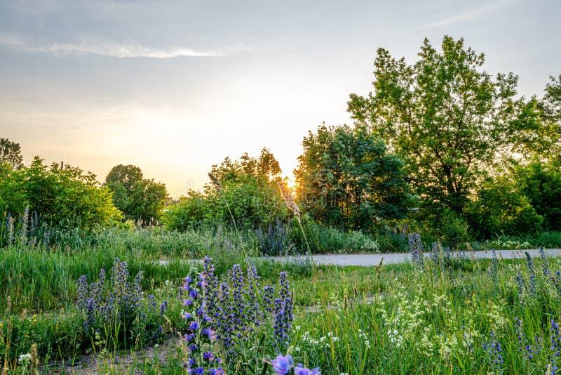 piękny zmierzch i słońce z gwiazdowymi promieniami w grean kwitnącej łące obraz royalty free
