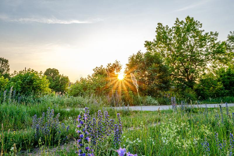 piękny zmierzch i słońce z gwiazdowymi promieniami w grean kwitnącej łące zdjęcia royalty free
