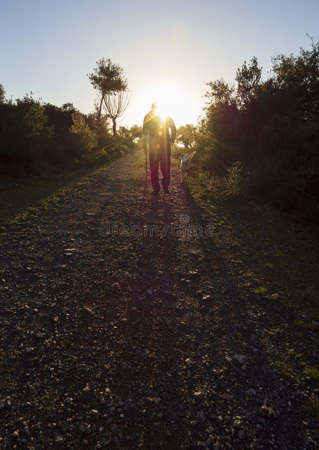 Piękny zmierzch przeciw słońcu i mężczyzny odprowadzenie z psem w oliwnym ogródzie na wyspie Evia w Grecja obraz royalty free