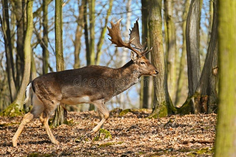 Piękny zwierzę w dzikim lesie w naturze Ugoru rogacza Dama dama zdjęcie stock