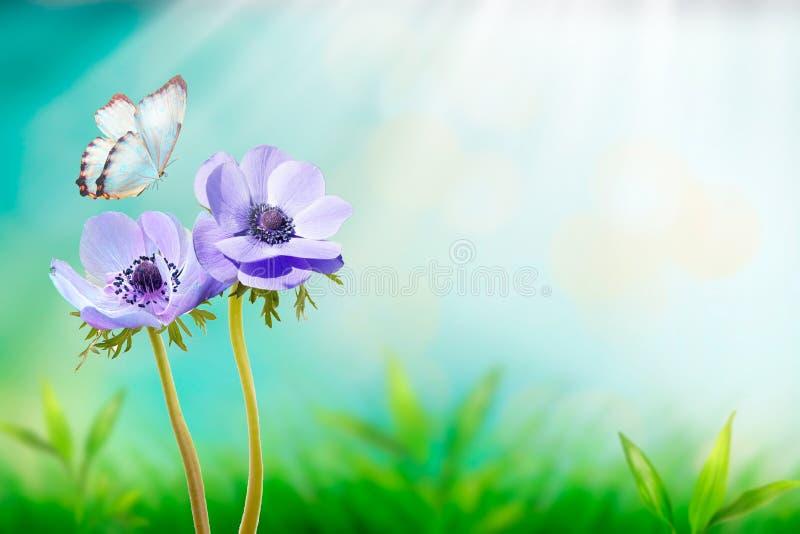Pięknych błękitnych kwiatów anemonów wiosny świeży ranek na naturze i trzepotliwym motylu na miękkim światła słonecznego tle, mak obrazy royalty free