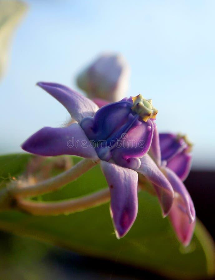 Pięknych korona kwiatów zamknięta up fotografia obrazy stock