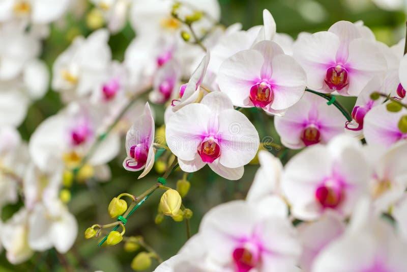 pięknych kwiatów odosobniony storczykowy biel fotografia stock