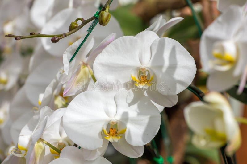 pięknych kwiatów odosobniony storczykowy biel fotografia royalty free