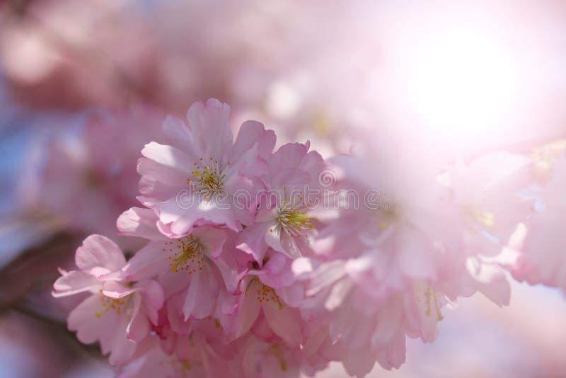Pięknych kwitnienie menchii Japoński czereśniowy okwitnięcie z backlight fadingiem Zamyka w g?r? makro- fotografii fotografia royalty free