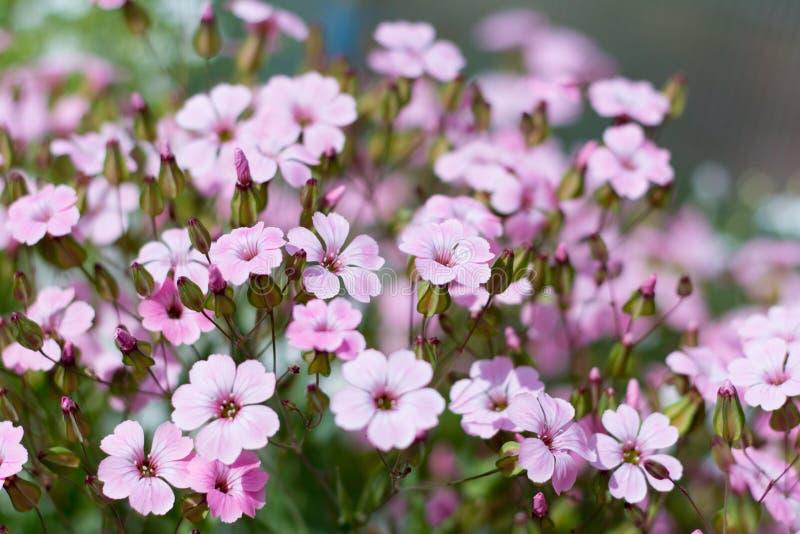 Pięknych lato menchii mali kwiaty, selekcyjna ostrość, kwiecisty tło zdjęcia royalty free
