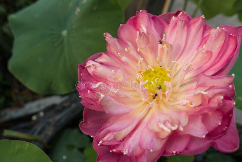 Pięknych menchii Święty Lotosowy kwiat zdjęcie stock