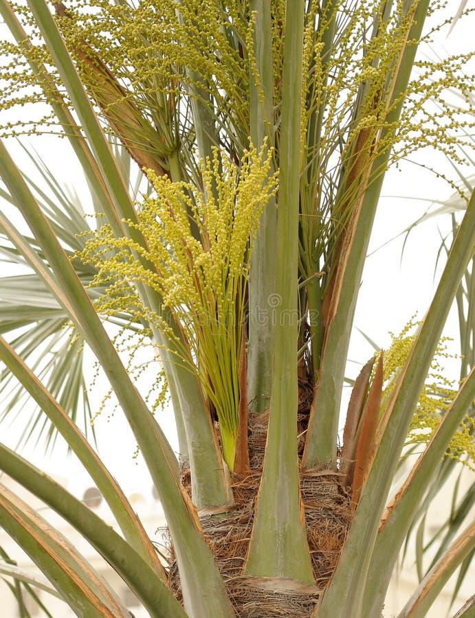 pięknych pączków daktylowych kwiatów zielony drzewko palmowe zdjęcia royalty free