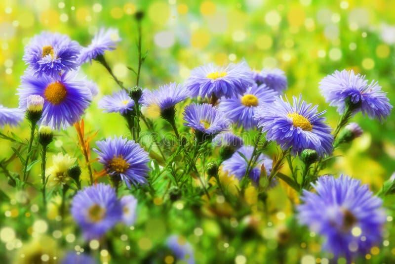 Pięknych purpurowych błękitnych chryzantem zamazany tło zdjęcie stock
