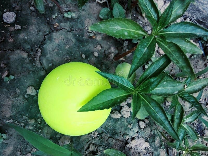 Piłka pod roślinami szuka cienie obraz royalty free