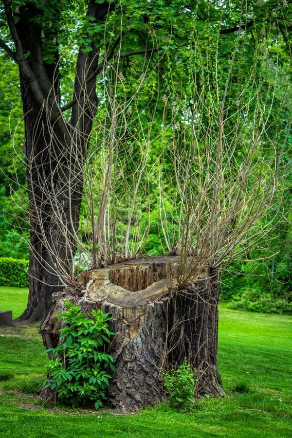 Piłujący suchy nieżywy stary drzewny bagażnik z wydrążeniem obrazy royalty free