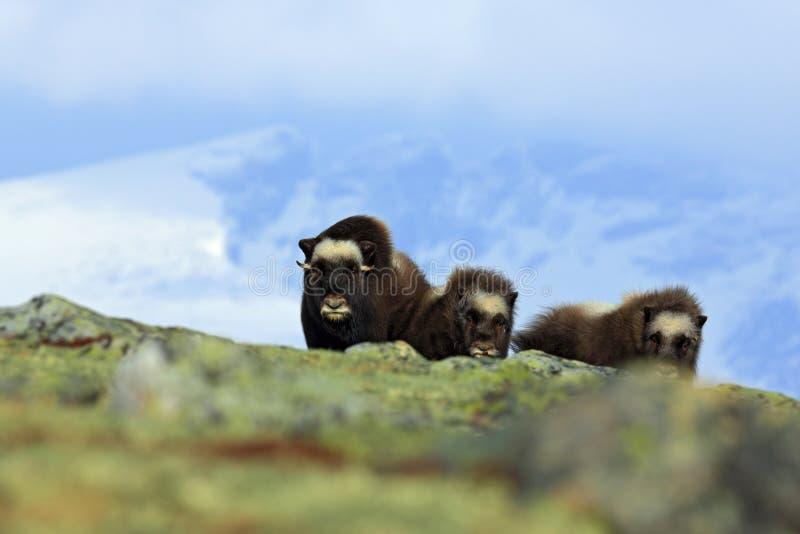 Piżmo woła rodzina, matka z dwa potomstwami Trzy brown zwierzęcia z śnieżną górą w tle Duży zwierzęcy piżmo wół, Ovibos moscha zdjęcie stock