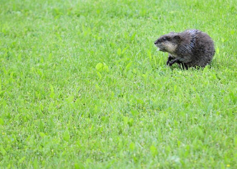 piżmoszczur obraz stock