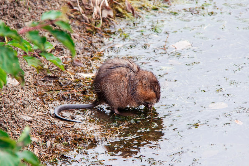 piżmoszczur zdjęcie stock