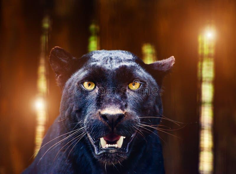Pi?kna czarna pantera zdjęcia royalty free
