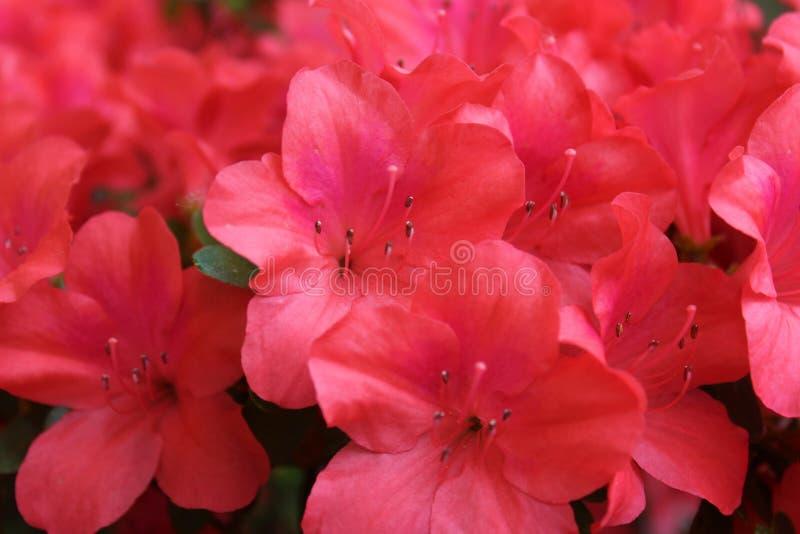 Pi?kna jaskrawa r??owa azalia kwitnie w pe?nym kwiacie obrazy royalty free
