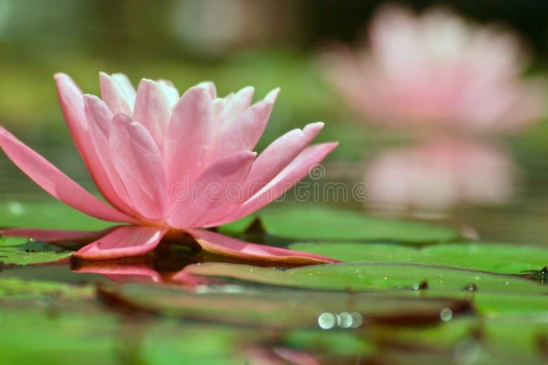 Pi?kna menchii woda lilly w stawie obraz royalty free