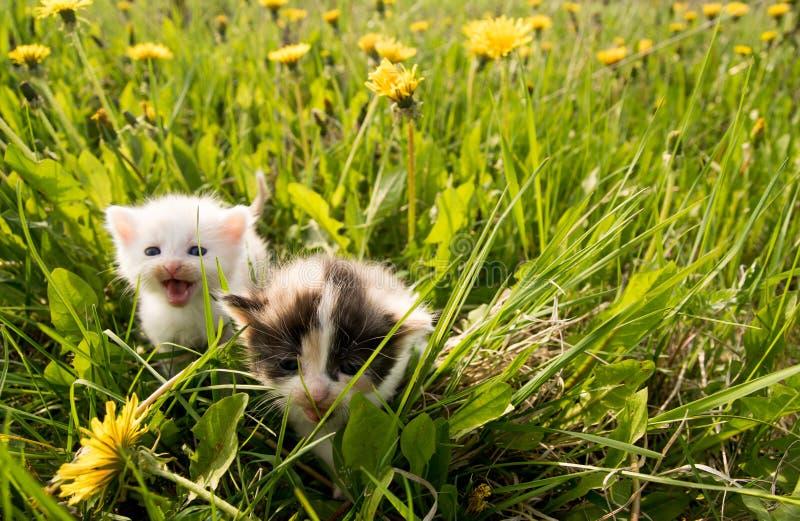 Download Piękne kociaki obraz stock. Obraz złożonej z ssak, euphrates - 53783281