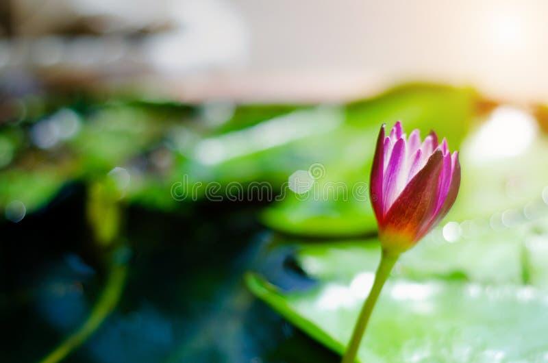 pi?kne lotosowe purpury obraz stock