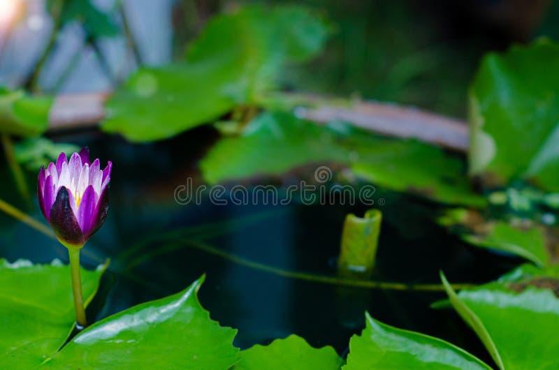 pi?kne lotosowe purpury zdjęcie royalty free
