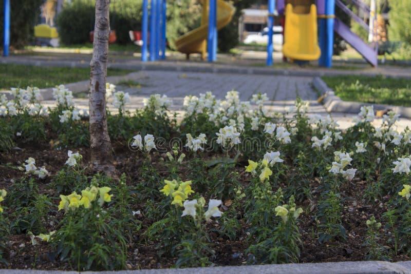 Download Piękni Biali Kwiaty Przed Boiskiem Zdjęcie Stock - Obraz złożonej z tło, kwiaty: 106922258