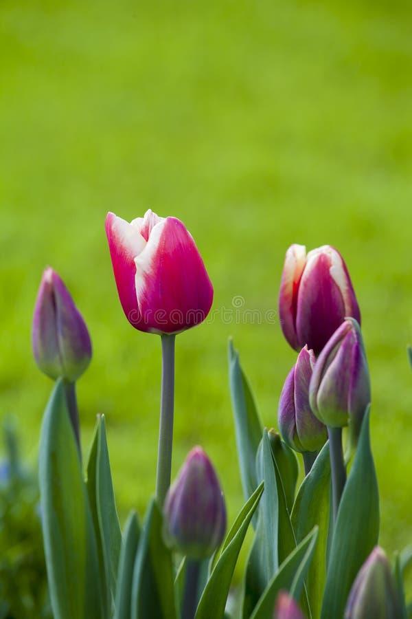Download Piękni Czerwoni Tulipany W Wiosna Czasie Zdjęcie Stock - Obraz złożonej z flory, glasshouses: 53788726