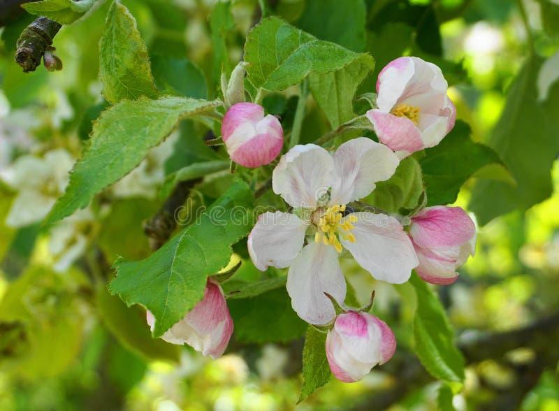 Pi?kni i delikatni jab?czani kwiaty w ranku s?o?cu zamykaj? w g?r? jab?czana ogrodu zdj?cia wiosna kwiat obrazy royalty free