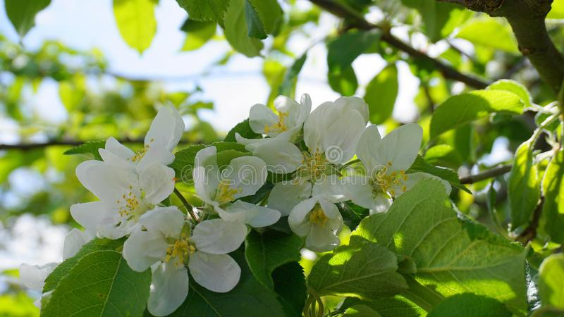 Pi?kni i delikatni jab?czani kwiaty w ranku s?o?cu zamykaj? w g?r? jab?czana ogrodu zdj?cia wiosna kwiat zdjęcie stock