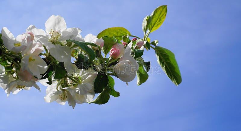 Pi?kni i delikatni jab?czani kwiaty w ranku s?o?cu zamykaj? w g?r? jab?czana ogrodu zdj?cia wiosna kwiat zdjęcie royalty free